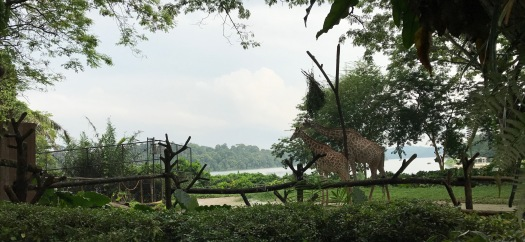 singapur girafas - 1
